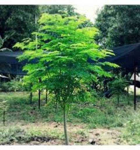 Moringa Oleifera, the Miracle tree